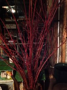 10 Dogwood Branches Natural Burgandy Red 3 ft Long Perfect for Fall Decorating
