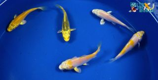 "Exact Fish 5 Lot Assorted 2 3"" Standard Fin Live Koi Pond Garden Fish KTTW 106"